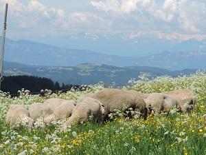 Unsere Filmschafe bei &#34Honig im Kopf&#34 in Südtirol.